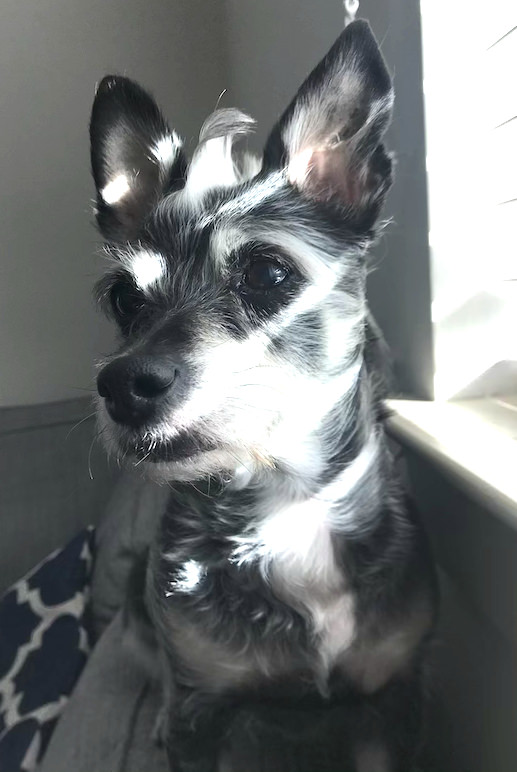 Meet Mea - The Chi-Poo With The Biggest Personality